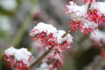 Zaubernuss-Blüten mit Schnee