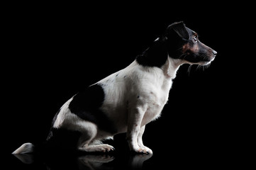 Side view low key picture of a jack russel terrier