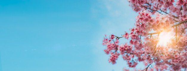 pink Sakura flowers against the sky. The natural background.vintage tone Wall mural