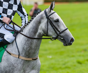 close up portrait of a grey race horse on the race track
