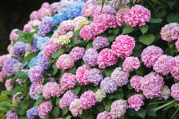 Fotomurales - Hydrangea is pink, blue, lilac flowers. Bushes are blooming in spring and summer in town street garden.