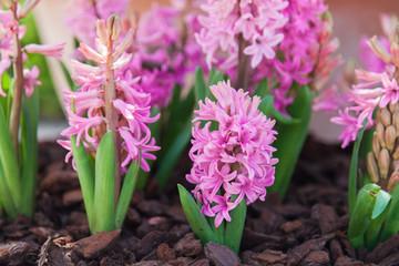 Fotomurales - Blooming pink hyacinth in flower pot outdoor. Spring gardening on town streets.