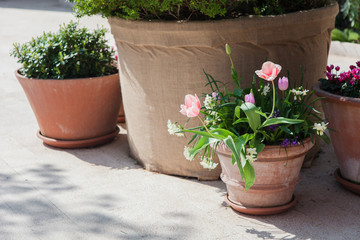 Fotomurales - Spring gardening on town streets. Pink tulips and green plants in flower pots outdoor. Scene with blooming flowers. Floral decoration.