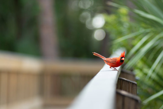 Red Northern Cardinal Bird Staring into Camera