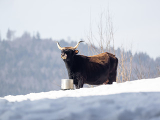 One except bullock is drinking water from a bucket in the snow