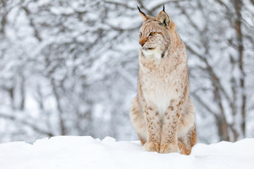 Close-up of proud lynx cat in the winter snow