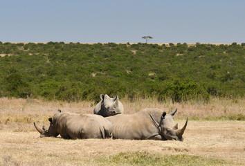 Nashörner ruhen in Kenia