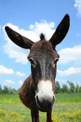 lovely donkey brown fur on a green meadow under blue sky with a pair of white clouds