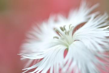なでしこ ミ-ティアホワイトの花