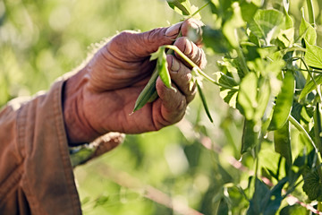 farmers weathered hand holding sugar snap pea vine
