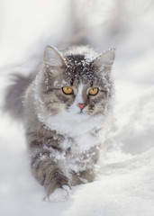 Cat runs in the snow