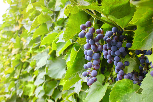 Branches of Shiraz grapes growing in the garden. Close up view. Ripe grape growing at the branch