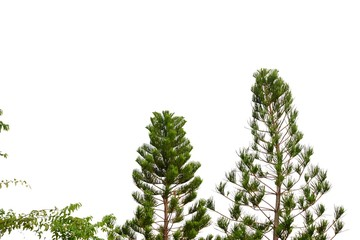 Two pine trees with brances on white isolated background for green foliage backdrop