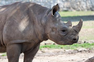 Young eastern black rhinoceros, (Diceros bicornis michaeli)