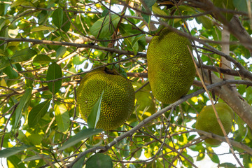 Durians grow on a tree