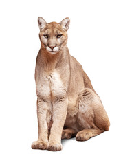 Acrylic Prints Puma Mountain Lion Sitting Isolated on White