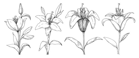 Sketch of flowers. Lily isolated on white background. Vector illustration.