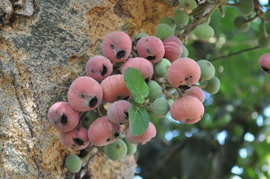 The beautiful Ficus Sycomorus in farmland