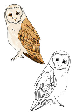 Hand drawn beautiful barn owl