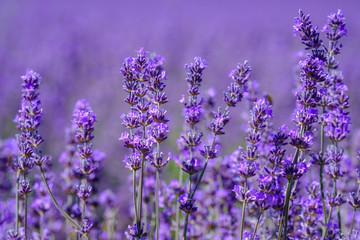 Spoed Fotobehang Lavendel Lavande en fleurs sur le champ gros plan.