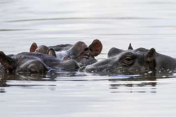 African Hippopotamus, South Africa, in forest environment