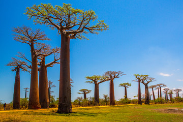 Fotorollo Baobab Beautiful Baobab trees at sunset at the avenue of the baobabs in Madagascar