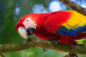 The portrait of scarlet macaw (Ara macao), Scarlet Macaw Sanctuary, Costa Rica Fotomurales