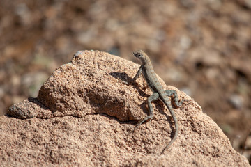 Lizard perched on a rock