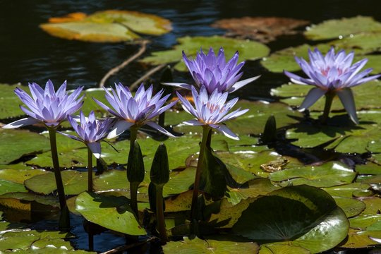 Cape blue water lilies (Nymphaea capensis), Flowers, Island of Sao Miguel, Azores, Portugal, Europe