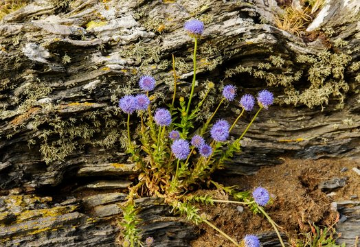 Sheep's bit scabiouses (Jasione montana), on slate, Cornwall, England, Great Britain