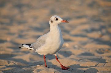 Gull on the Black Sea coast near the water in its natural habitat. Fauna of Ukraine.