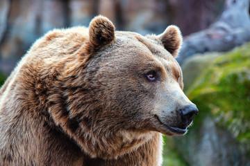 Wall Mural - brown bear portrait