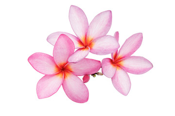 Pink Frangipani (Plumeria) flowers on a white background.