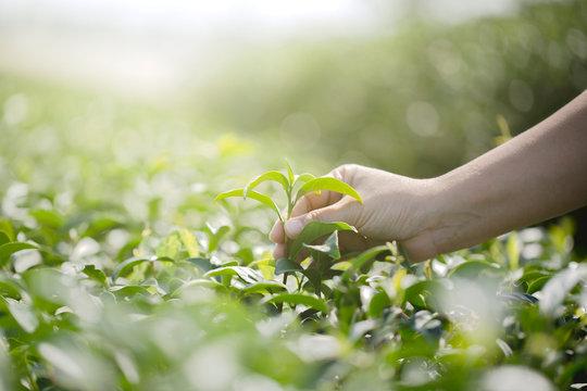 Closeup hand with picking fresh tea leaves in natural organic green tea farm
