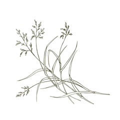 Poa pratensis, field, meadow grass isolated on white background. Vector.