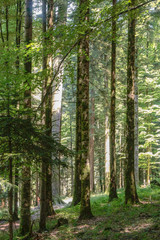 Forest near the fir road, route des sapins in France.