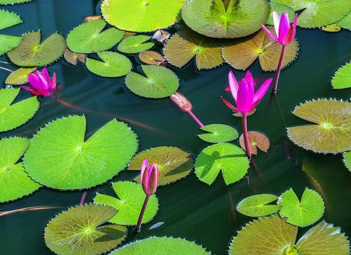 Lotus leaf Water flower natural background