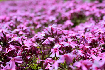 pink creeping Phlox subulate