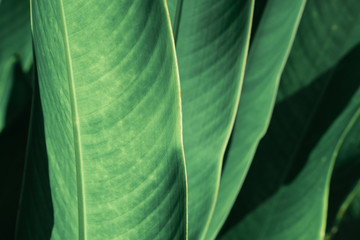 Abstract tropical green leaf textured background, large foliage, background for green nature.
