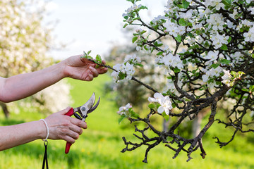 Female hands cutting branch of blooming fruit tree by pruning shears. Gardening in orchard during spring season