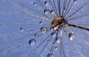 the water drops on a dandelion