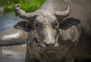 Water buffalo's face with mud.