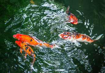 Koi fish are swimming in the pond.
