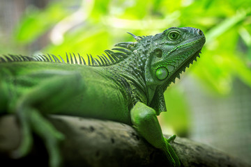 Green iguana is resting on the tree.