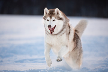Crazy, happy and funny beige and white dog breed siberian husky running on the snow in the field at sunset