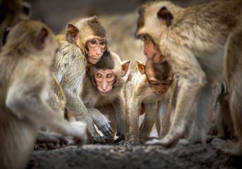 Family of monkeys in the wild