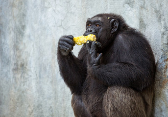 Young chimpanzees are eating corn.