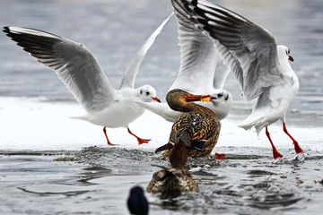 black headed gull and mallard duck fighting for food Wall mural