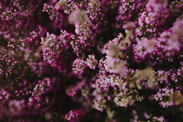 Pink heather flower bush background