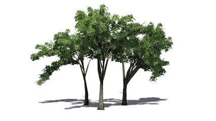several American Elm trees with shadow on the floor - isolated on white background
